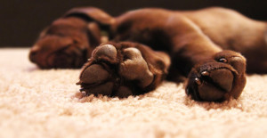 pet stain and odour on rug